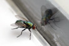 A dying fly trying to break through a closed windowpane.