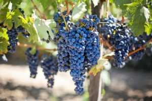 purple-grapes-vineyard-400x267